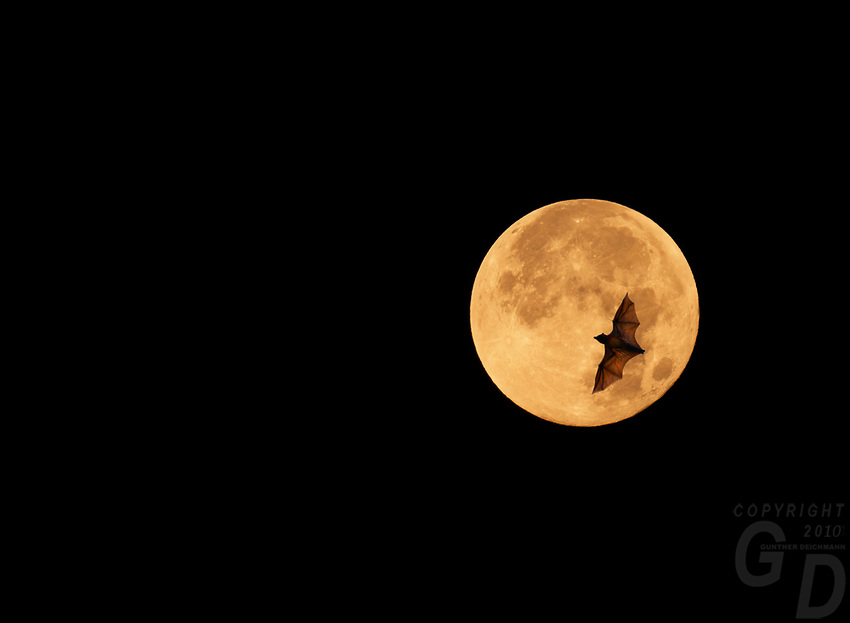 Composite of setting Blood Moon and Bats, Feb. 2018 Manila, Philippines