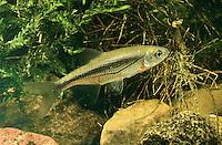 Schneider, Alandblecke, Breitblecke, Alburnoides bipunctatus, Spirlin
