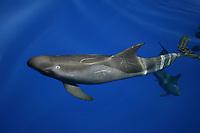 pygmy killer whales, Feresa attenuata, Kona Coast, Big Island, Hawaii, USA, Pacific Ocean Ocean