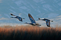 Three greater sandhill cranes flying off roosting pond at dawn. Printed with watercolor effect.
