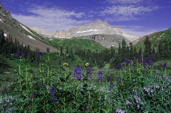 Mountains and wildflowers in Yankee Boy Basin,Tall Larkspur,Delphinium barbeyi, Bluebells,Mertensia ciliata, Ouray, San Juan Mountains, Rocky Mountains, Colorado, USA