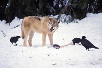 gray wolf, Canis lupus, feeding on a moose, Alces alces, leg with common raven birds, Corvus corax, in the foothills of the Takshanuk mountains, northern southeast, Alaska, USA