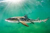 Leopard Houndshark, Triakis semifasciata. Aka leopard shark. La Jolla, California, USA, Eastern Pacific.