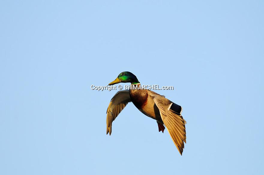 00330-083.17 Mallard Duck drake in flight with wings set as it come in for landing.  Hunt, greenhead, waterfowl.