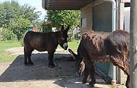 Esel im Haustierpark Werdum - Werdum 24.07.2020: Haustierpark Werdum