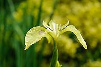 Iris pseudacorus 'Bastardii'