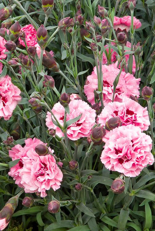 Dianthus Sugar Plum, pink with raspberry red center, dark buds, Scent First series