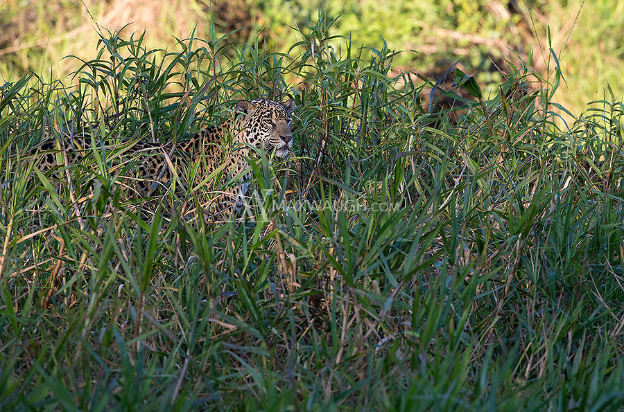 The jaguars we saw spent a lot of time patrolling shorelines and stalking prey in the tall grasses along the river.