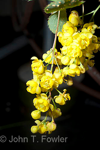 Common Barberry bloom, Berberis vulgaris, yellow, spring, wild flower, wildflower, shrub, berries, alien