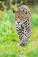 Jaguar (Panthera onca) with radio collar sneaks through the grass, captive, Conservation Land Trust breeding station, Iberá Project, Esteros del Iberá, San Alonso Island, Corrientes Province, Argentina, South America