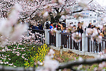 Cherry blossom lovers gather at Chidorigafuchi on April 1, 2016, Tokyo, Japan. On Thursday, the Japan Meteorological Agency announced that Tokyo's cherry trees were in full bloom, three days earlier than usual, but two days later than last year. Chidorigafuchi is one of the most popular spots during this season, where thousands of visitors come to see the cherry blossom trees that line the Imperial Palace moat. (Photo by Rodrigo Reyes Marin/AFLO)
