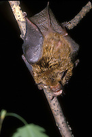 Gray bat, Myotis grisescens, an endangered species, hangs from tree, awake and mouth open,