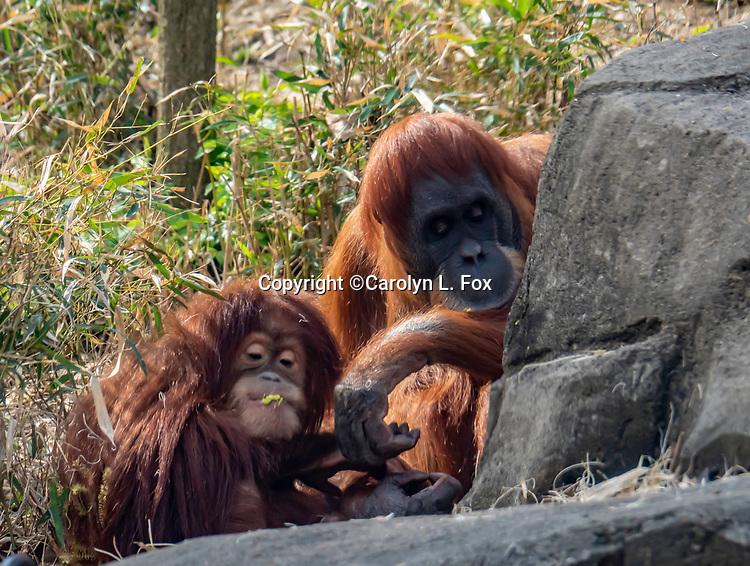 Orangatangs are members of the ape family.
