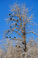 Bald Eagles rest in snow flocked tree along salmon spawning stream in late fall.