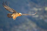 Bearded Vulture (Gypaetus barbatus) adult bird in flight, Pyrenees, Aragon, Spain, Europe