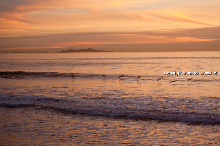 pelicans flying over a wave with Anacapa island in the background