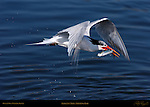 Elegant Tern with Spitting Fish, Bolsa Chica Wildlife Refuge, Southern California