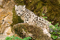 Snow Leopard kitten standing on a moss covered rock - CA
