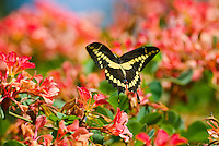 Giant Swallowtail Butterfly (Papilio cresphontes).Giant Swallowtail Butterfly (Papilio cresphontes)