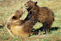 Wild Grizzly Bear (Ursus arctos) cubs playing (wrestling) in spring near Yellowstone (Greater Yellowstone ecosystem).
