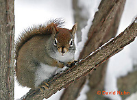 """1228-07ss  Red Squirrel """"Hunting for Food in Winter"""" - Tamiasciurus hudsonicus - © David Kuhn/Dwight Kuhn Photography."""