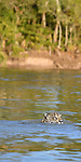Female jaguar (Panthera onca) swimming across the Paraguay River. Near Taiama Reserve, Western Pantanal, Mato Grosso, Brazil.