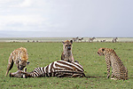 Cheetah's cheated out of lunch by hyenas by Patrick Kientz/Naturagency