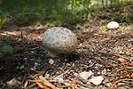 Puffball mushrooms in Montana