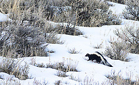 I was incredibly excited to photograph a new mammal in the park, the striped skunk! It was my first time ever seeing a live one.