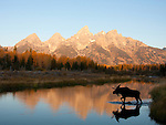 Bull moose walks across the river in the reflection of the Tetons. <br /> Teton National Park.