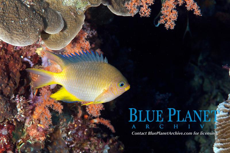 unidentified chromis or damselfish, Pomacentrus sp., Raja Ampat, West Papua, Indonesia, Indo-Pacific Ocean