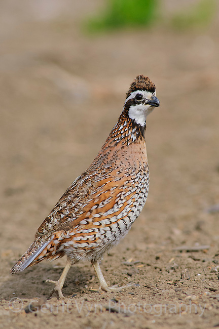 Adult male Northern Bobwhite (Colinus virginianus) showing plumage representative of Great Plains and Texas birds. Starr County, Texas. March.