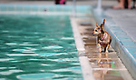 Li'l Bit watches the action at the annual Pooch Plunge at the Carson Aquatics Facility, in Carson City, Nev., on Saturday, Sept. 28, 2013. <br /> Photo by Cathleen Allison