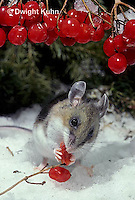MU50-136z  White-Footed Mouse - eating berries -  Peromyscus leucopus