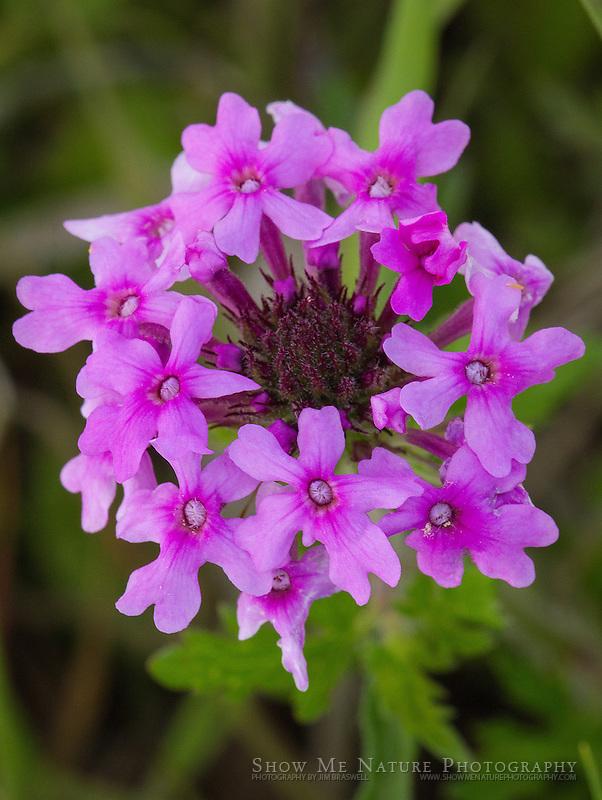 Rose Verbena wildflower
