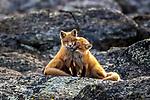Red foxes, Nunavik, Quebec, Canada