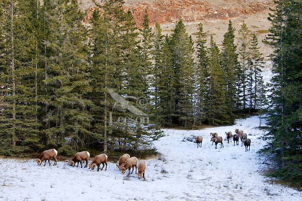 Rocky Mountain Bighorn Sheep (Ovis canadensis) rams