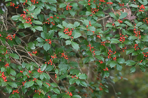 American Holly (Ilex opaca),  berries, Raleigh, North Carolina, USA