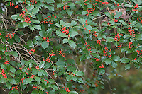 American Holly (Ilex opaca),  berries, Raleigh, North Carolina, USA