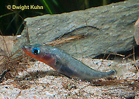 1S30-501z  Male Threespine Stickleback,  Mating colors showing bright red belly and blue eyes, gluing nest together with secretions from kidneys, Gasterosteus aculeatus,  Hotel Lake British Columbia