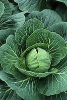 Cabbage 'Quick Step' growing in garden
