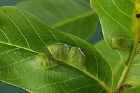 Walnuss-Gallmilbe, Walnuß-Gallmilbe, Walnussfilzgallmilbe, Walnussfilz-Gallmilbe, Walnussfilzgallmilbe, Walnuss-Filzgallmilbe, Galle, Gallen, Gallmilbe an Walnuss, Walnuß, Filzgallen, Filzgalle, Filzkrankheit, an Blattoberseite, Eriophyes erineus, Aceria erinea, Aceria erineus, Walnut Erineum Mite, Walnut Leaf Gall Mite, walnut blister mite, on Walnuttree, Juglans regia