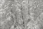 Vashon Washington:<br /> Winter, snow covered trees,
