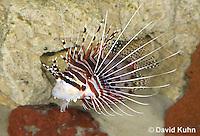 0130-1009  Antennata Lionfish (Broad-Banded Firefish, Spotfin Lionfish), Pterois antennata  © David Kuhn/Dwight Kuhn Photography