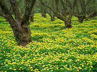 Yellow flowers in filbert orchard. Wilsonville, Oregon