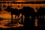 African bush elephants (Loxodonta africana) at dusk, Okavango Delta, Botswana<br /> <br /> Canon EOS-1Ds Mark II, 400mm f/4 lens, f/8 for 1/3200 second, ISO 160