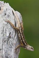 Texas Spiny Lizard (Sceloperus olivaceus), adult , Rio Grande Valley, Texas, USA