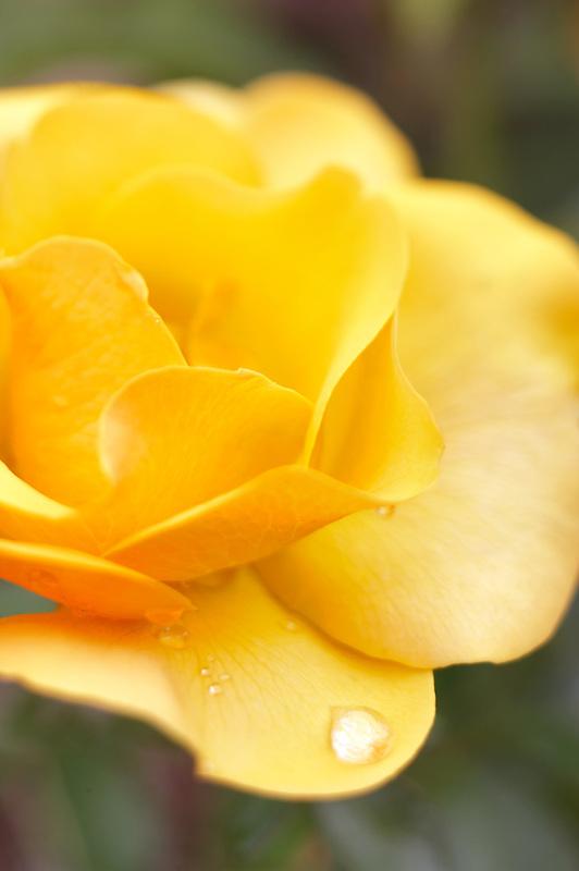 St. Christopher rose. Heirloom Gardens. Oregon
