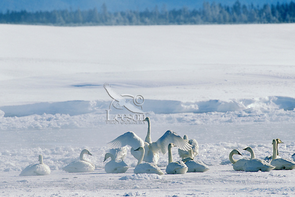 Trumpeter swans (Cygnus buccinator).  Western U.S., winter.  Note:  Photo taken in very cold temps (about -20), notice river right behind swans is running mostly ice.