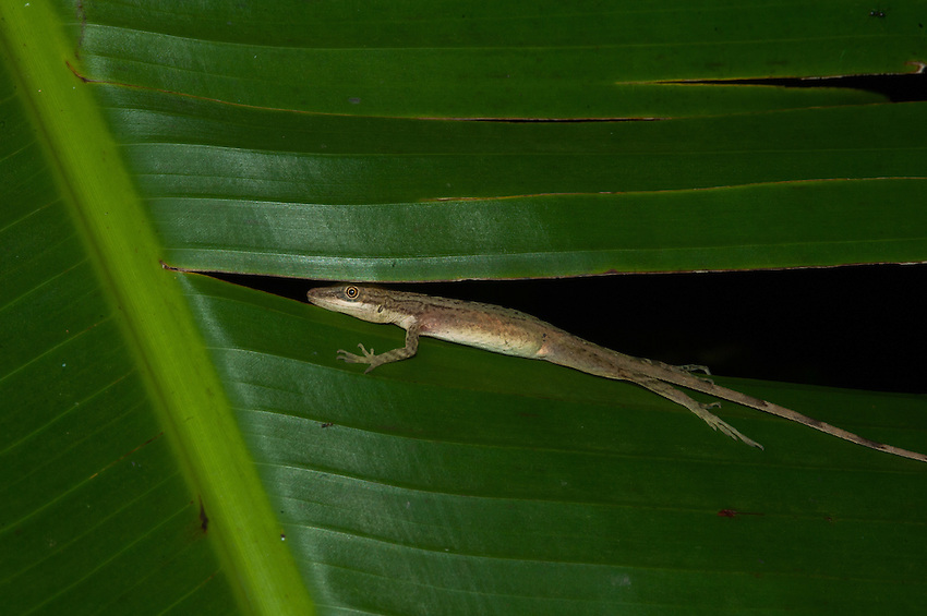 Probably a Slender Brown Anole (Anolis Limifrons) - Siquirres, Costa Rica.